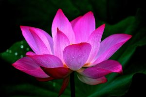 Why is lotus so important in indian culture why is lotus so important in indian culture lotusflowercloseup452683 mightylinksfo